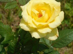 Another Yellow rose shot