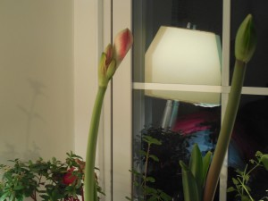 Amaryllis Buds In The Window