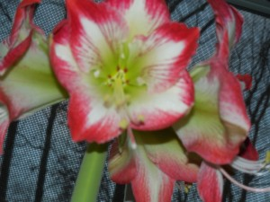 Amaryllis In Full Bloom