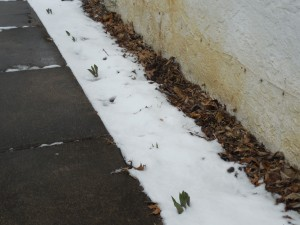 Tulips poking through the snow