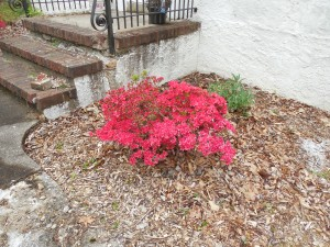 Another picture of an azalea in bloom