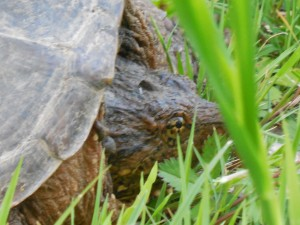 Snapping Turtle close up