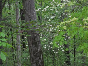 More white flowers in the woods