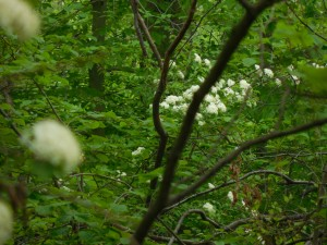 White flowers in the woods