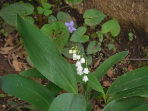 Lily of the valley in flower