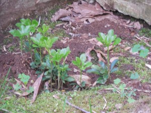 Pachysandra doing well in its new location