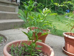 Peppers growing in a pot