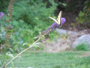 Another view of the butterfly on the butterfly bush