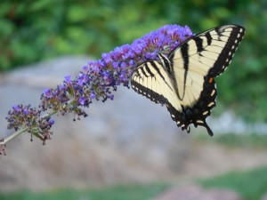 Butterfly bush earning its name